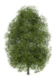 Small-leaved lime tree isolated on white. Background Royalty Free Stock Photo