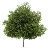 Small-leaved lime tree isolated on white. Background Stock Photo