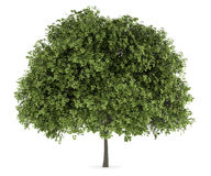Small-leaved lime tree isolated on white. Background Stock Photos