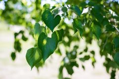 Small-leaved lime tree. Tilia cordata with the vibrant green leaves on a bright sunny day stock image