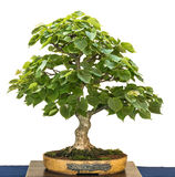 Small leaved linden als bonsai tree Royalty Free Stock Images