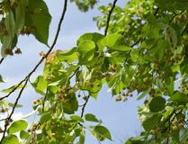 Small-leaved linden is in bloom stock photo