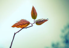 Small leaves on autumnal tree branch with water drops Stock Photography