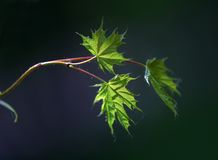 Small leaves of a maple - 1 Stock Photography