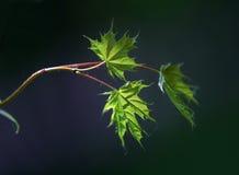 Small leaves of a maple - 1. Small leaves of a maple illuminated by the sun Stock Photography