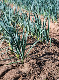 Small leek plants from close Stock Photography