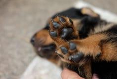 Free Small Leg Of Rottweiler Puppy Dog Stock Photos - 174944633