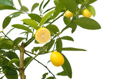 Small lemon tree, with lemon cut in half,  on white Stock Image