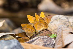 Small Leopard butterflies Royalty Free Stock Photography