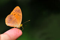 Small Leopard butterfly Stock Image