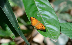 Small Leopard butterfly (Phalanta alcippe) Stock Images