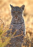 Small Leopard cub spotted cat. Small Leopard big spotted cat photographed during safari in Southern Africa, this wild predator lives solitary and is part of Royalty Free Stock Photos