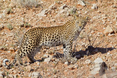 Small Leopard cub spotted cat. Leopard big spotted cat photographed during safari in Southern Africa, this wild predator lives solitary and is part of beautiful Stock Images