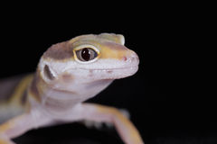 Small leopard gecko Royalty Free Stock Photo