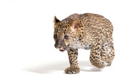 Small leopard running Royalty Free Stock Image