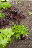 Small Lettuce Garden Royalty Free Stock Photography