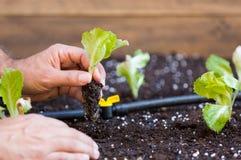 Small lettuce garden Royalty Free Stock Photo
