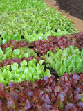 Small lettuces. Growing in a greenhouse Royalty Free Stock Photo