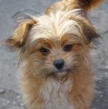 Small Light Brown Dog. Portrait of a small dog Royalty Free Stock Photography