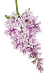 Small light isolated lilac inflorescence Stock Images