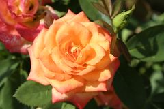 A small light orange rose. Small summer light orange rose flower in the green garden royalty free stock photography