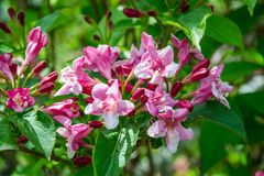 Close-up of Weigela Rosea funnel shaped pink flower, fully open and closed small flowers with green leaves. Selective focus. Small light pink flowers, weigela stock photos