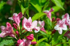 Close-up of Weigela Rosea funnel shaped pink flower, fully open and closed small flowers with green leaves. Selective focus. Small light pink flowers, weigela stock photography