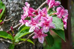 Close-up of Weigela Rosea funnel shaped pink flower, fully open and closed small flowers with green leaves. Selective focus. Small light pink flowers, weigela royalty free stock images