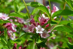 Close-up of Weigela Rosea funnel shaped pink flower, fully open and closed small flowers with green leaves. Selective focus. Small light pink flowers, weigela royalty free stock image