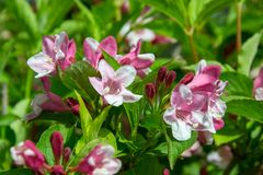 Close-up of Weigela Rosea funnel shaped pink flower, fully open and closed small flowers with green leaves. Selective focus. Small light pink flowers, weigela royalty free stock photo