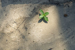 Small light yellow green seaside plants growing in face of sand dune and casting long shadows in late afternoon Royalty Free Stock Photography