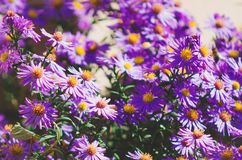 small lilac aster. natural background. stock images