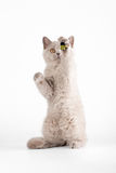 Small lilac british kitten. On  white background Royalty Free Stock Photography