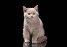 Small lilac british kitten on black Royalty Free Stock Photo