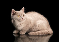 Small lilac british kitten on black Stock Images