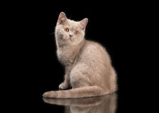 Small lilac british kitten on black Royalty Free Stock Image