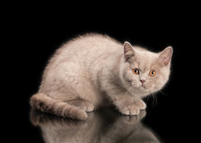 Small lilac british kitten on black Royalty Free Stock Images