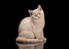 Small lilac british kitten on  black background Stock Images