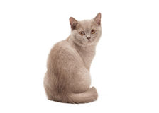 Small lilac british kitten on white Royalty Free Stock Photos