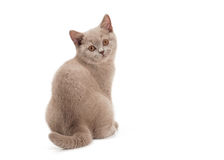 Small lilac british kitten on white Royalty Free Stock Image