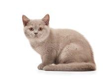Small lilac british kitten on white Stock Photos