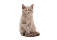 Small lilac british kitten on  white background Stock Photo