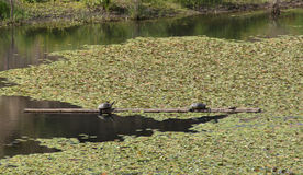 Small lily pads on pond - horizontal. Small lily pads form a textural carpet on a quiet pond Stock Image