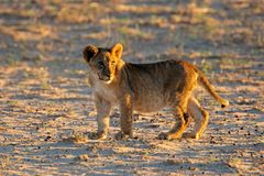 Small lion cub Royalty Free Stock Photos