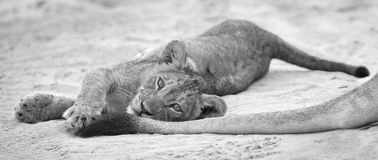 Small lion cub lay down to rest on soft Kalahari sand and play w stock images