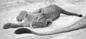 Small lion cub lay down to rest on soft Kalahari sand and play w. Ith its mother's tail Royalty Free Stock Photo