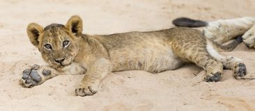 Small lion cub lay down to rest on soft Kalahari sand. Small lion cub lay down to rest on the soft Kalahari sand Royalty Free Stock Photo