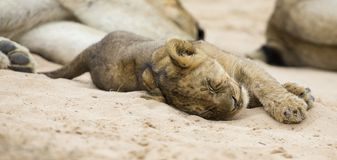 Small lion cub lay down to sleep on soft Kalahari sand stock photo