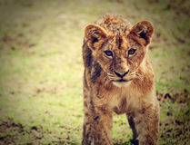 A small lion cub portrait. Tanzania, Africa Stock Photography