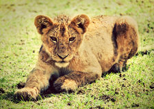 A small lion cub portrait. Tanzania, Africa Stock Images